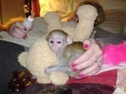 Intelligent and lovely baby capuchin monkey for adoption