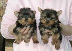 AFFECTIONATE YORKIE PUPPIES AVALIABLE TEXT US (402)-500-3056 FOR QUICK RESPOND!!