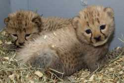 cute cheetahs cubs for sale in amarillo texas united states
