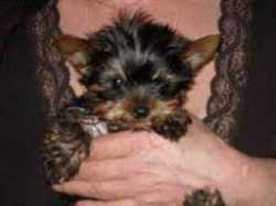 Akc Tiny Yorkshire Terrier (yorkie) Puppies