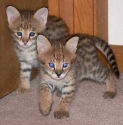 Savannah kittens, ocelot kittens, caracal kittens and serval kittens available