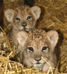 Well tamed Lion and cheetah cubs for sale