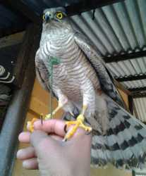 Healthy and Active Male And Female Falcon Birds For Sale