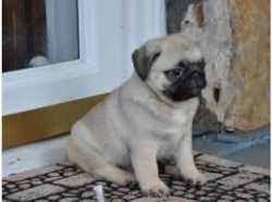 charming pug puppies for sale contact now for more information