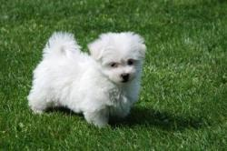Tina is a tiny Maltese Puppy and will be about 3 lbs at maturity