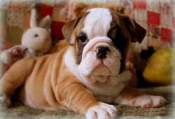 Excellent English Bulldog puppies available for free adoption