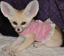 Hand raised baby face fennec fox available