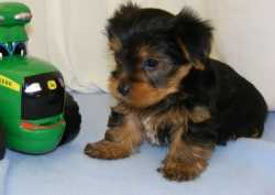 lovely yorkie puppies for your homes