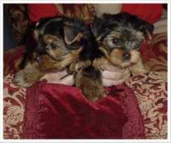 QUALITY CHARMING MALE AND FEMALE TEACUP YORKIE PUPPIES FOR RE-HOMING