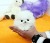 Purebred T-cup POMERANIAN puppies available for good homes